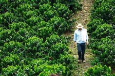 Colombia grows over of the worlds coffee supply and to many Colombians coffee is not just a hot beverage but a culture and livelihood. Trip To Colombia, Colombia Travel, Costa Rica, Coffee Supplies, Colombian Coffee, Destinations, Coffee Farm, Green Landscape, Plantation