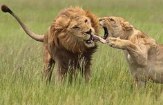 A lioness grabs a male lion's tongue in the Okavango Delta, Botswana to try to stop him from crossing into an area where a neighbouring in-season female was calling him lololololol. And he ended up staying put….