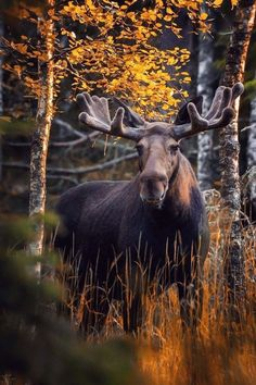 Big bull moose (Alces alces) with its antlers in velvet. Forest Animals, Nature Animals, Animals And Pets, Cute Animals, Wild Animals, Baby Animals, Wild Life, Wild Forest, Forest Fairy