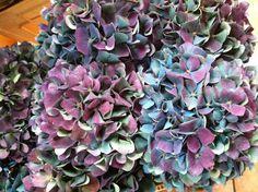 Hydrangea  |  purple + blue