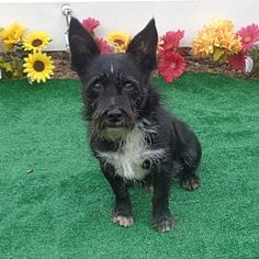 Pictures of BOOBOO a Scottie, Scottish Terrier for adoption in Marietta, GA who needs a loving home.