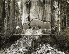 Lumberjacks working among the redwoods in California.