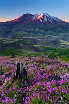 Glowing Cauldron ~ early morning amid the wildflowers, Mt. St. Helens, Washington by Adrian Klein