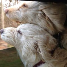Heidi and Teddy...Doodles love car rides with the window down.