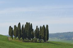 I famosi cipressini nei pressi di Torrenieri.