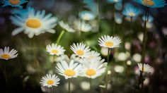 beautiful white flower daisies colored hd wallpaper download