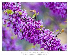 Redbud Flowers, Merced Canyon