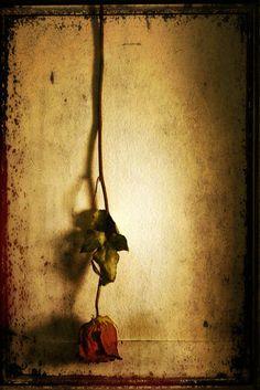 rose photograph still life photography by judeMcConkeyPhotos, $12.00 #stilllife #photography