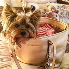 Sydneysorry but your purselooked so inviting I had to jump in! I thought maybe we could go somewhere #pursesandpaws #poshpamperedpets #proudyorkies_feature #mydogiscutest by sydney.and.gia