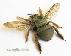 RARE Real Bumble Bee Green Form Museum by ButterfliesArtist