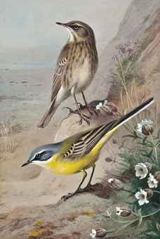 Rock Pipet and Blue Headed Wagtail by Archibald Thorburn (1860-1935)