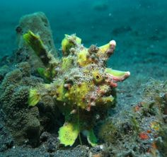 Image result for Frogfish