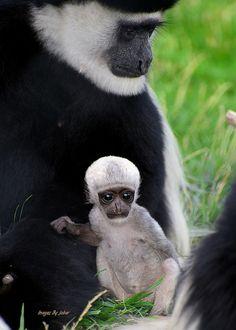 Black-and-white Colobus Monkey At Tanganyika Wildlife...