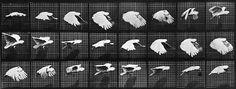 Animal Locomotion: Plate 759 (Bird), by Eadweard Muybridge - 20x200 (from $60)