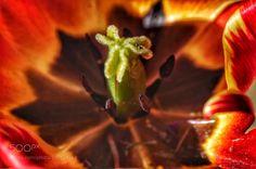 Inside a tulip - Macro