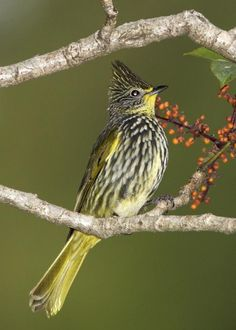Striated Bulbul, Pycnonotus striatus: Bhutan/ China/ India/ Laos/ Burma/ Nepal/ Thailand/ Vietnam