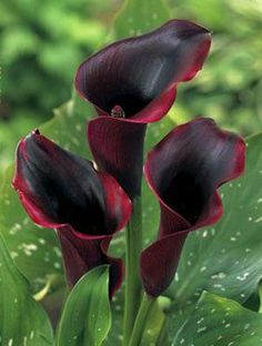 Zantedeschia Schwarzwalder Lily Flower - Black Arum Lilies - Blood Red Calla Lily Love this shade