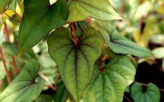http://www.kraeuter-und-duftpflanzen.de/media/image/6878c20835d85c36a963ec56b396faa4.jpg