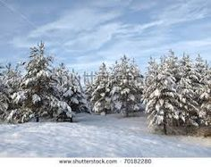 Image result for pines in snow
