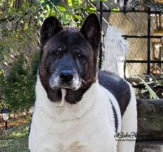 Mama-Tampa is an adoptable Akita Dog in Jacksonville, FL.  This kind, gentle senior dog was practically 'bred to death' and then dumped like garbage at animal control. She is loving and well-behaved,,...