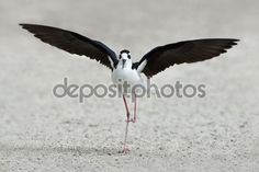 This image was sold today @depositphotos: Black-necked stilt (Himantopus mexicanus) http://depositphotos.com/86355266/stock-photo-black-necked-stilt-himantopus-mexicanus.html