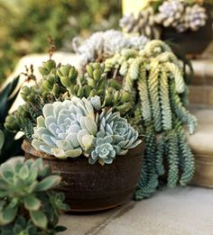 So easy succulent container garden.  Step it up! Blue-green echeveria (Echeveria spp.) combines with white-striped zebra haworthia (Haworthia fasciata) and fuzzy panda plant (Kalanchoe tomentosa) with brown-tipped leaves. A separate container with burro's tail (Sedum morganianum) adds color and textural contrast as it drapes over the edge of the next step.
