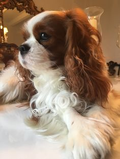 Cavalier King Charles Spaniel, Affectionate and Graceful. Cavalier King Charles Spaniel, King Spaniel, King Charles Puppy, Spaniel Breeds, Cute Dog Pictures, Puppies And Kitties, Dog Life, Best Dogs, Cute Dogs