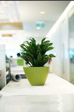 Bring nature Indoors! Send us your purchasing queries for Indoor plants by mailing us at info@uniflora.ae or call us on  04-321-6545 #Uniflora #Indoor #Plants #Office #Decor #Dubai #UAE