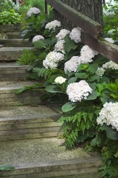 Blushing Bride Hydrangea. I can't wait to create an all-white section in my garden....