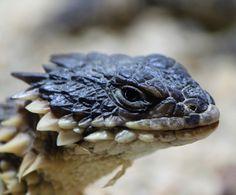 Sungazer, Giant Girdled Lizard, Giant Spiny-tailed Lizard or Giant Zonure