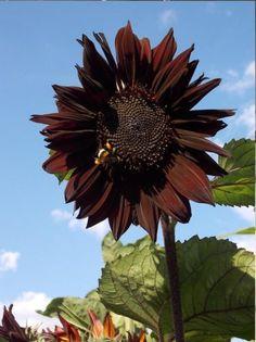 Unusual Sunflowers