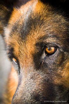 German Shepherd Eye's. They are soulful and knowing sensitive and compassionate and intenseall at the same time!