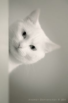 Perfectly white cat ! Awesome.