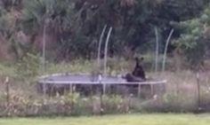 Sumo Bears Wrestle On Backyard Trampoline In Florida