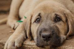 Anatolian Shepherd - Such a beautiful and sweet dog!