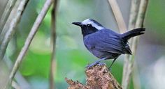 White-browed Antbird - Introduction | Neotropical Birds Online Click to hear its song