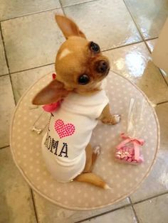 Darling little Chihuahua puppy, even with the clothes on. #chihuahua #chihuahuatypes #chihuahuadogs                                                                                                                                                     More