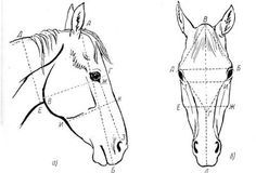 horse head proportions - Google Search