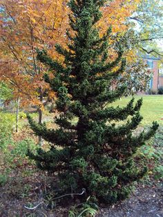 Image of 'cryptomeria japonica black dragon', 12'x6', full sun /partial shade