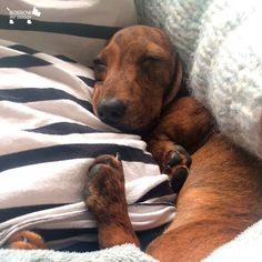 We're staying in bed all day, right? #DoggyMember Anakin