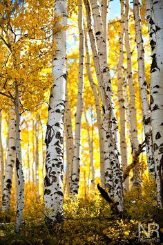 Aspen trees in fall colors outside of Telluride, CO. Aspen trees in fall colors outside of Telluride Autumn Scenery, Autumn Trees, Tree Photography, Landscape Photography, Landscape Art, Landscape Paintings, Birch Tree Art, Aspen Trees, Tree Forest