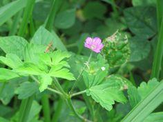 ゲンノショウコ. Geranium thunbergii. 1 August 2016.