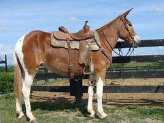 Mules Animal, Old West Town, Work With Animals, Draft Horses, Horse Photos, Zebras, Horse Riding, Image Photography, Donkeys