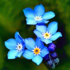 Beautiful Flowers : Forget Me Not Flower Pictures Trendy Tattoos, Love Tattoos, Body Art Tattoos, Tatoos, Little Flowers, Blue Flowers, Beautiful Flowers, Colorful Flowers, Elfen Tattoo