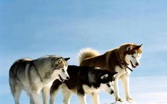 eight below movie huskies