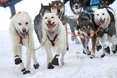 Iditarod Trail Sled Dog Race 2020 in Alaska - Dates & Map Alaska Dog, Alaska The Last Frontier, Alaskan Husky, Alaska Travel, Zoology, Working Dogs, Cute Baby Animals, Dog Pictures, Dog Training