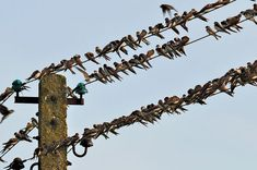 Swallows, Meeting, Layout, Wires