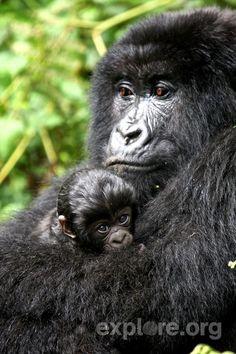 A gorilla mom and her baby at Volcanoes National Park, Rwanda.