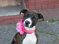 SUPER URGENT 06/13/16 STELLAR AVERAGE RATED PUPPY!!!!! In just the 8 months that she has been alive, poor Dutchess has been failed by humans time and again. She first wound up in the shelter on 6/3, was adopted and returned on 6/9 because the adopter had no time for her. Dutchess apparently caught the shelter cold at some point and was placed in isolation. so despite scoring perfect marks on her SAFER and being described as