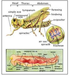 grasshopper 721d wiring diagram diagram of the external anatomy of a typical insect ... #4